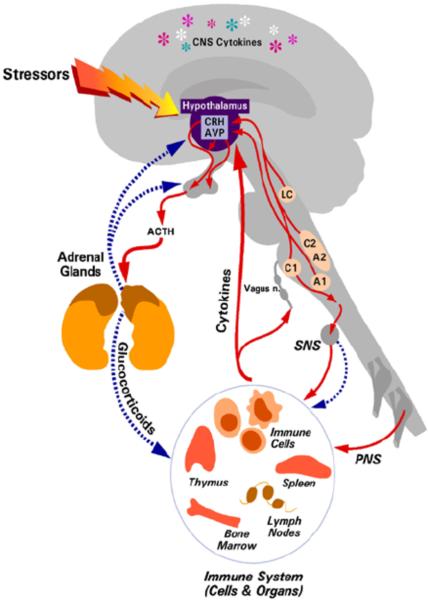 HPA Axis (Webster Marketon et al. 2010)